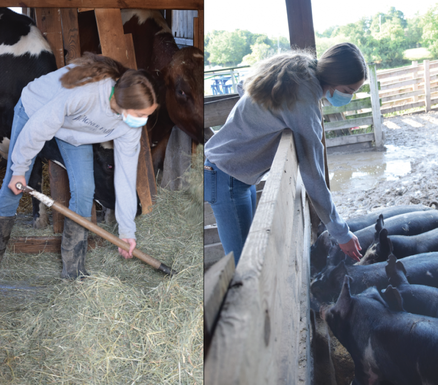 Junior Holly Gilchrist shovels hay and cares for pigs at Historic Wagner Farm in Glenview on Sept. 13, 2020. Gilchrist helped raise her pigs, which she then auctioned off at an annual fair. Photos by Natalie Sandlow