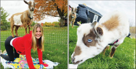 Senior Abby Parry enjoys the company of goats during her session at Goat Yoga Chicago on Oct. 25, 2020. Sessions include a half hour of yoga exercises with the goats and another half hour playing with them. Photos by Ellie Walden